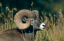 Farm animal pictures Wall Art as Canvas, Acrylic or Metal Print Dickhornschaf, Ovis canadensis, Bighorn sheep