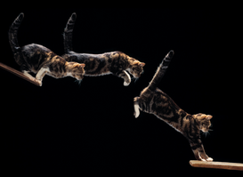 Cat pictures Wall Art as Canvas, Acrylic or Metal Print CAT leaping (mflash)