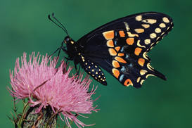 Tierbilder z.B als Leinwandbild oder Wandbild hinter Acrylglas: Eastern Black Swallowtail on Thistle Flower