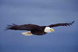 Animal Pictures Wall Art as Canvas, Acrylic or Metal Print Bald eagle (Haliaeetus leucocephalus) in flight