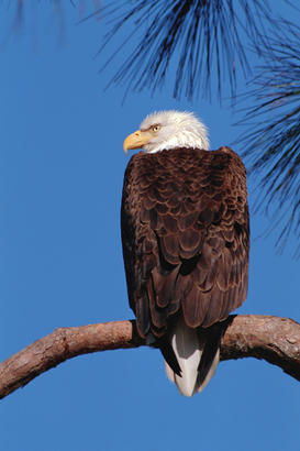 Vogels Foto's bijv. als canvasfoto of wandfoto achter acrylglas: Bald Eagle Perching on Branch