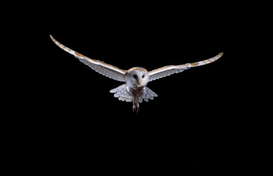 Bird pictures Wall Art as Canvas, Acrylic or Metal Print BARN OWL in flight