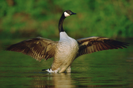 Animal Pictures Wall Art as Canvas, Acrylic or Metal Print Canada Goose Wading in Water