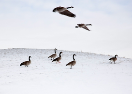 Bird pictures Wall Art as Canvas, Acrylic or Metal Print Flying geese in snowy landscape