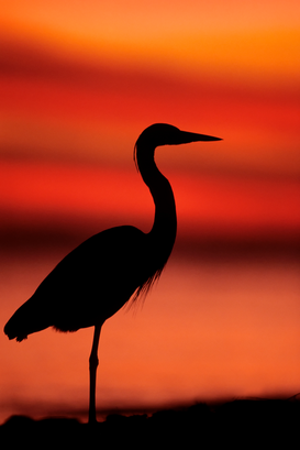 Vogels Foto's bijv. als canvasfoto of wandfoto achter acrylglas: Great Blue Heron (Ardea herodias) silhouetted against the fiery sunset sky
