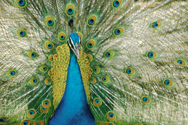 Vogels Foto's bijv. als canvasfoto of wandfoto achter acrylglas: Peacock with Blue and Green Plumage
