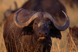 New Pictures Wall Art as Canvas, Acrylic or Metal Print African Buffalo