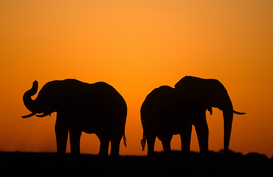 Animal Pictures Wall Art as Canvas, Acrylic or Metal Print African elephants silhouetted