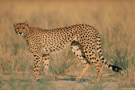 Wild animal pictures Wall Art as Canvas, Acrylic or Metal Print Cheetah in Tall Grass