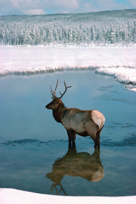 Wild animal pictures Wall Art as Canvas, Acrylic or Metal Print Elk Wading in Calm Waters