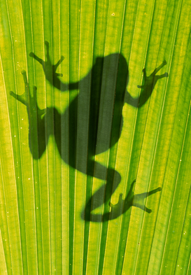 Wild animal pictures Wall Art as Canvas, Acrylic or Metal Print FROG silhouetted