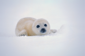 Season pictures Wall Art as Canvas, Acrylic or Metal Print Harp Seal Pup in the Snow