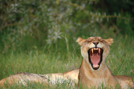 Animal Pictures Wall Art as Canvas, Acrylic or Metal Print Lioness Yawning