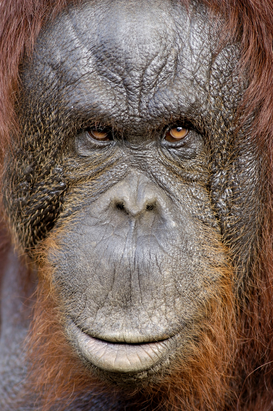 Animal Pictures Wall Art as Canvas, Acrylic or Metal Print Orang-Utan