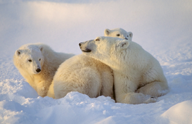 Wild animal pictures Wall Art as Canvas, Acrylic or Metal Print Polar bear sow with cubs