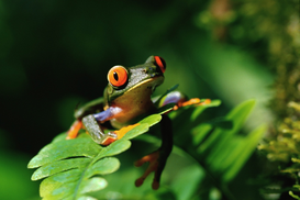 Animal Pictures Wall Art as Canvas, Acrylic or Metal Print Red-Eyed Tree Frog on Leaf