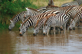 Wild animal pictures Wall Art as Canvas, Acrylic or Metal Print Zebra Herd Drinking at Water Hole