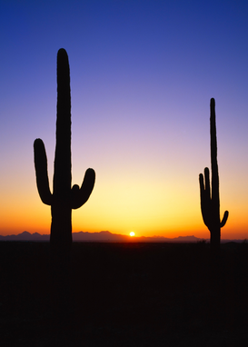 Sonnenbilder z.B als Leinwandbild oder Wandbild hinter Acrylglas: Sunset and cacti silhouettes, Saguaro National Park, Tucson, Arizona, USA